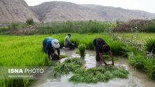 رکورد تولید برنج در تاریخ زده شد