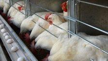 مرغداران روزانه بین ۹ تا ۱۰ میلیارد تومان ضرر می کنند