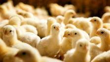 مبادله صادرات جوجه و تخم مرغ با ریال /برگشت ارز توجیه اقتصادی ندارد