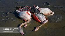 عامل مرگومیر بالای پرندگان میانکاله شناخته شد