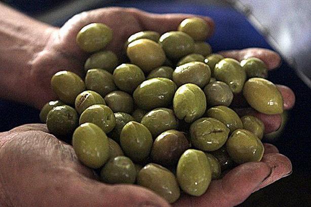 ایران بیستمین تولیدکننده زیتون دنیا
